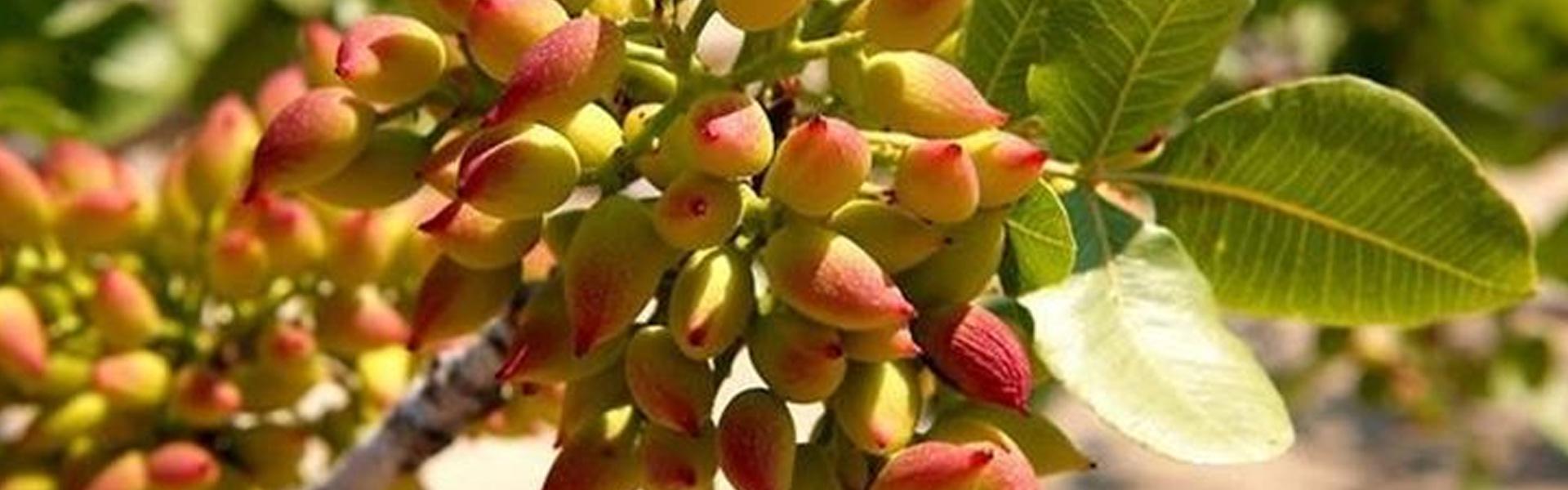 Semilavorati di pistacchio